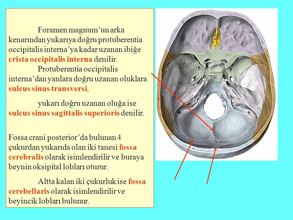 Foramen magnum'un arka kenarından yukarıya doğru protuberentia occipitalis interna'ya kadar uzanan ibiğe crista occipitalis interna denilir. Protubere