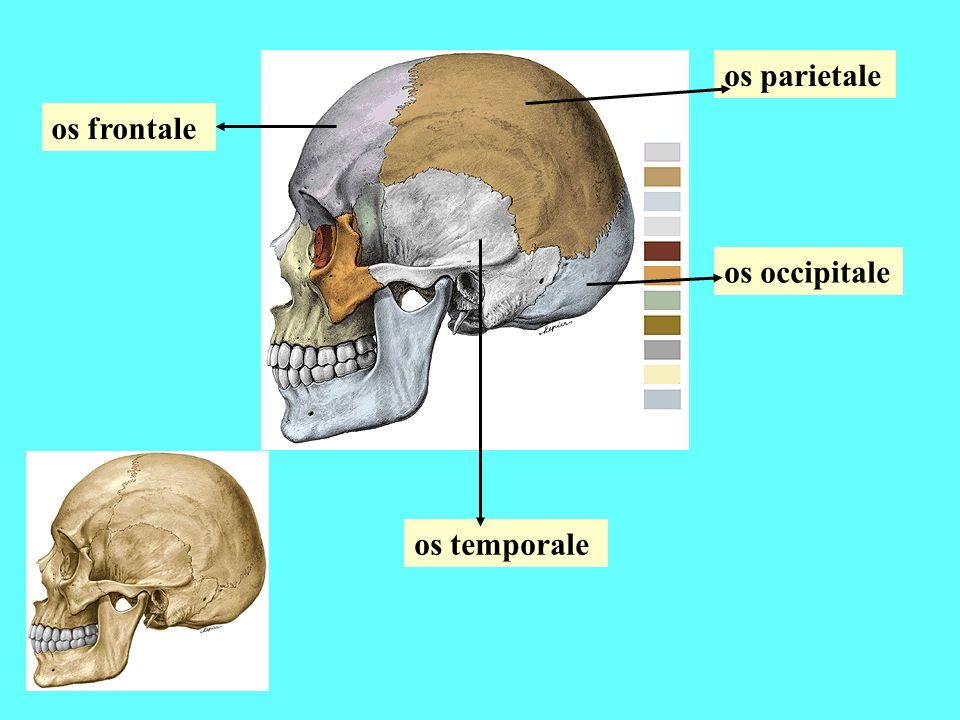 Viscerocranium Yüz iskeletinin, ağız boşluğunun, burun boşluğunun ve orbitanın yapısına katılan kemikler 2'si tek 1-vomer, 2-mandibula 6'sı çift 3-os lacrimale, 4-os nasale, 5-os zygomaticum, 6-maxilla 7-concha nasalis inferior 8-os palatinum olmak üzere toplam 14 adet kemikten oluşur.