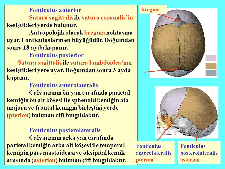 Fonticulus anterior Sutura sagittalis ile sutura coranalis'in kesiştikleri yerde bulunur. Antropolojik olarak bregma noktasına uyar. Fonticulusların e