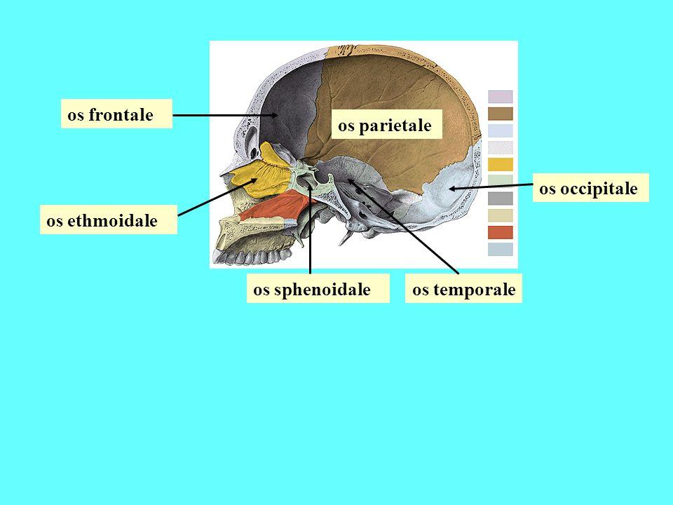 os parietale os frontale os occipitale os sphenoidale os ethmoidale os temporale