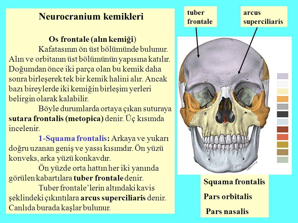 Neurocranium kemikleri Os frontale (alın kemiği) Kafatasının ön üst bölümünde bulunur. Alın ve orbitanın üst bölümünün yapısına katılır. Doğumdan önce