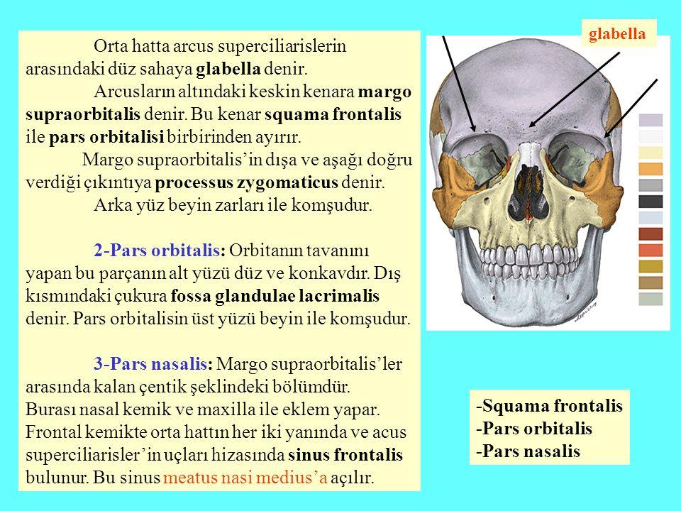 Os occipitale (art kafa kemiği) Kafatasının arka alt kısmını oluşturur.