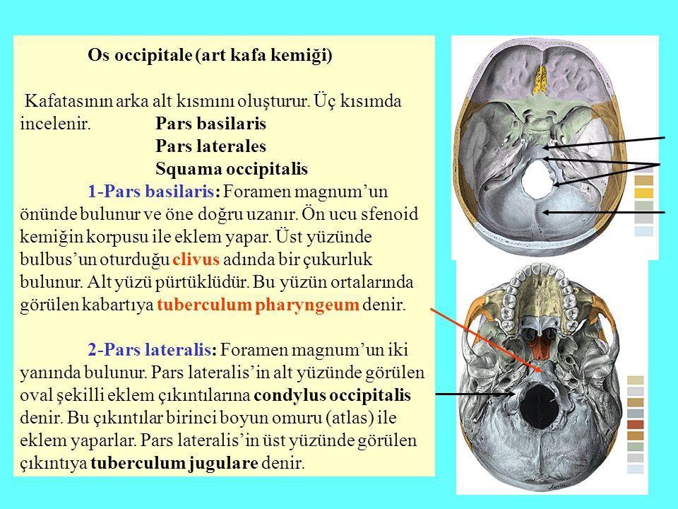 Os occipitale (art kafa kemiği) Kafatasının arka alt kısmını oluşturur. Üç kısımda incelenir. Pars basilaris Pars laterales Squama occipitalis 1-Pars
