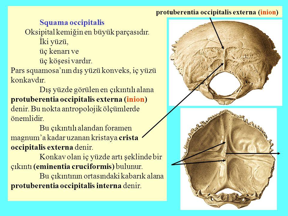 Squama occipitalis Oksipital kemiğin en büyük parçasıdır. İki yüzü, üç kenarı ve üç köşesi vardır. Pars squamosa'nın dış yüzü konveks, iç yüzü konkavd