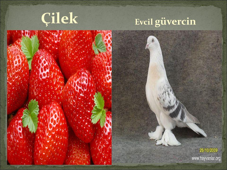 Çilek Evcil güvercin