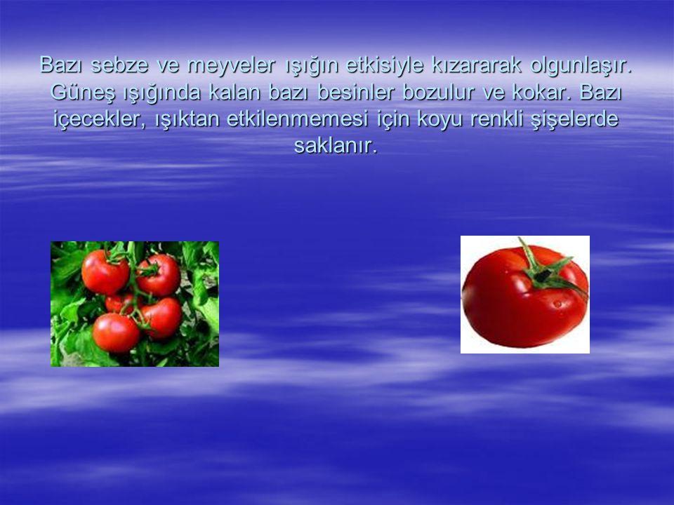 Bazı sebze ve meyveler ışığın etkisiyle kızararak olgunlaşır.