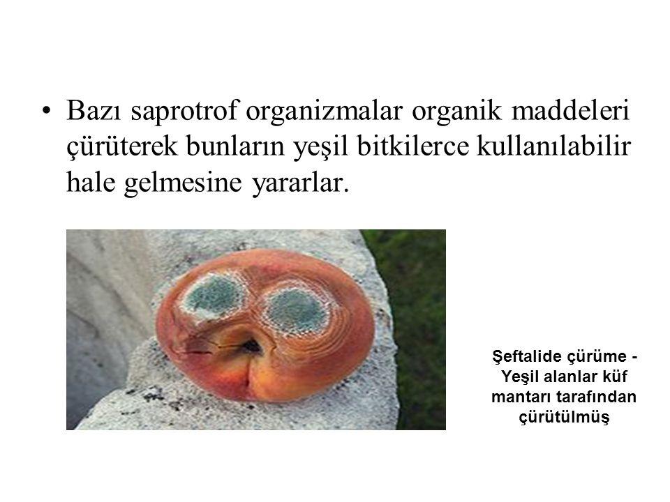 Bazı saprotrof organizmalar organik maddeleri çürüterek bunların yeşil bitkilerce kullanılabilir hale gelmesine yararlar. Şeftalide çürüme - Yeşil ala