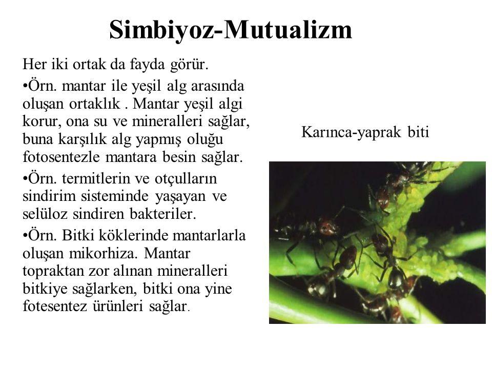 Simbiyoz-Mutualizm Her iki ortak da fayda görür. Örn. mantar ile yeşil alg arasında oluşan ortaklık. Mantar yeşil algi korur, ona su ve mineralleri sa