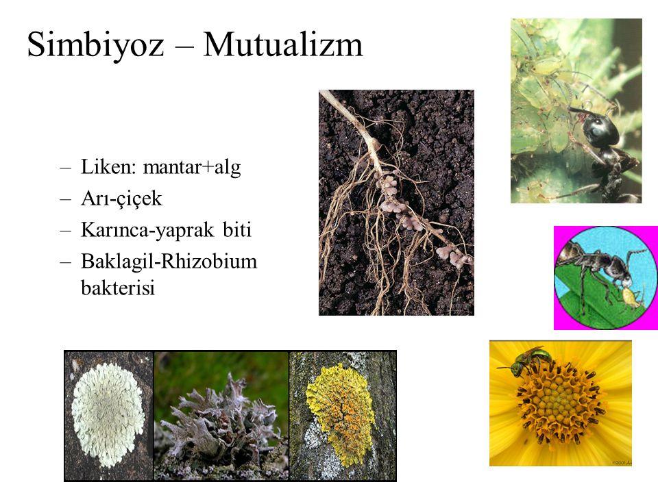 Simbiyoz – Mutualizm –Liken: mantar+alg –Arı-çiçek –Karınca-yaprak biti –Baklagil-Rhizobium bakterisi