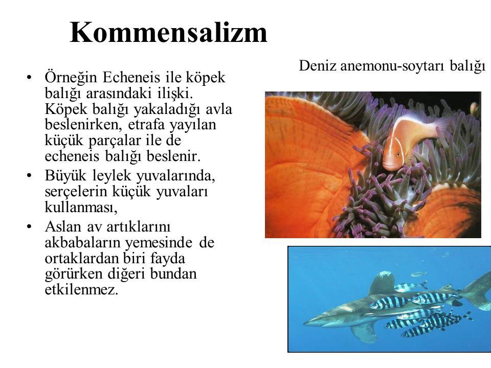 Kommensalizm Örneğin Echeneis ile köpek balığı arasındaki ilişki. Köpek balığı yakaladığı avla beslenirken, etrafa yayılan küçük parçalar ile de echen