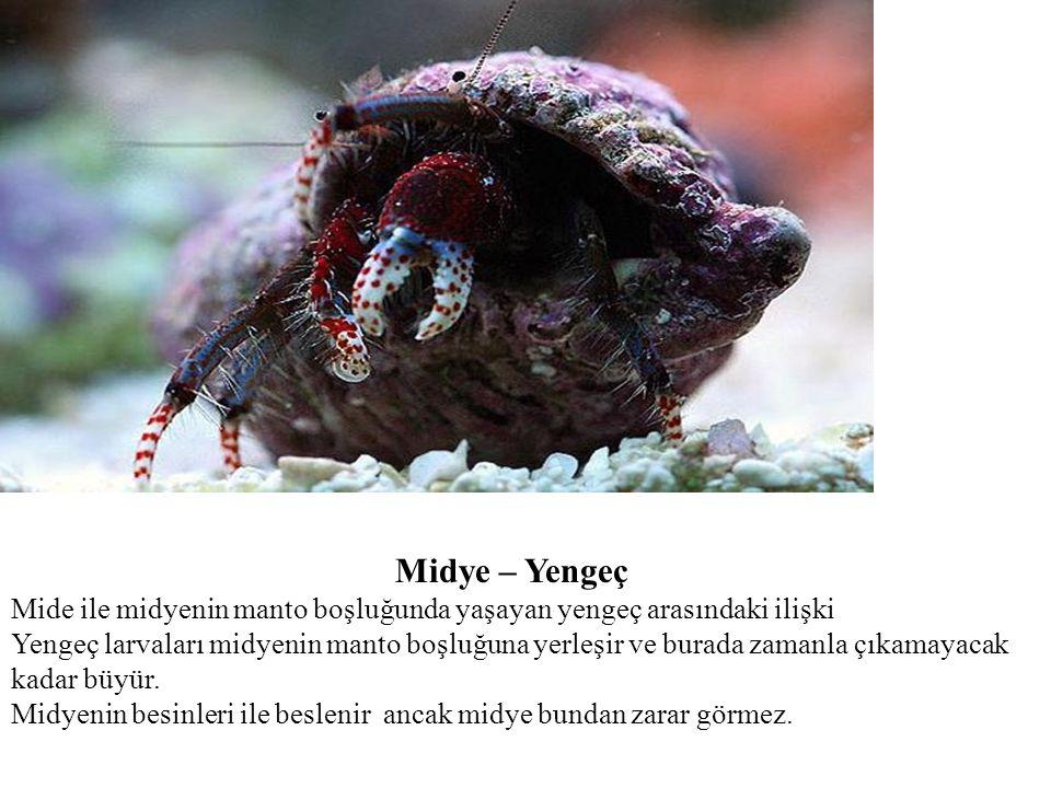 Midye – Yengeç Mide ile midyenin manto boşluğunda yaşayan yengeç arasındaki ilişki Yengeç larvaları midyenin manto boşluğuna yerleşir ve burada zamanl