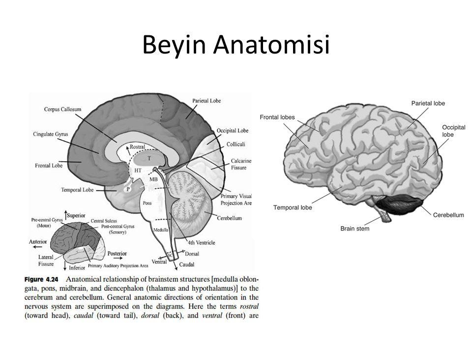 Beyin Anatomisi