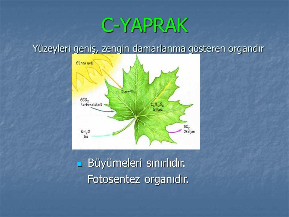 C-YAPRAK Yüzeyleri geniş, zengin damarlanma gösteren organdır Büyümeleri sınırlıdır. Büyümeleri sınırlıdır. Fotosentez organıdır. Fotosentez organıdır