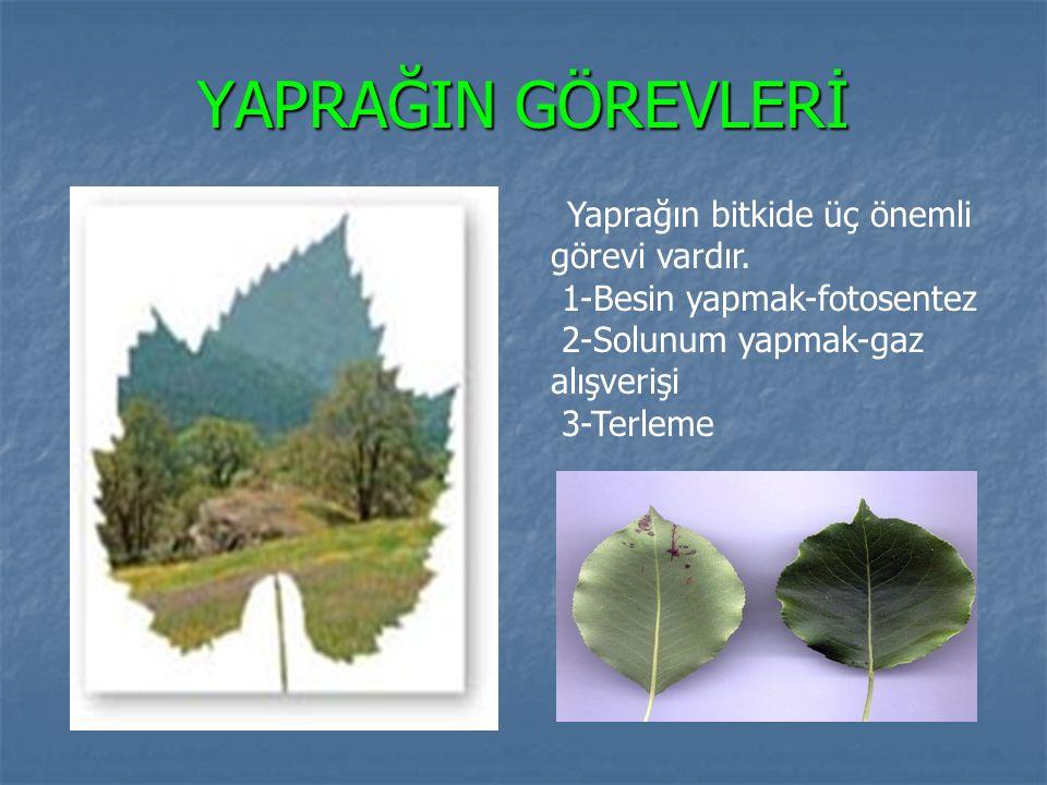 YAPRAĞIN GÖREVLERİ Yaprağın bitkide üç önemli görevi vardır. 1-Besin yapmak-fotosentez 2-Solunum yapmak-gaz alışverişi 3-Terleme