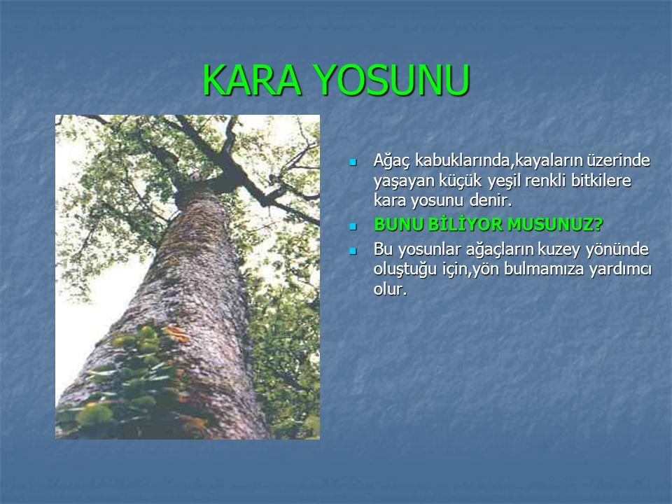 KARA YOSUNU Ağaç kabuklarında,kayaların üzerinde yaşayan küçük yeşil renkli bitkilere kara yosunu denir. BUNU BİLİYOR MUSUNUZ? Bu yosunlar ağaçların k