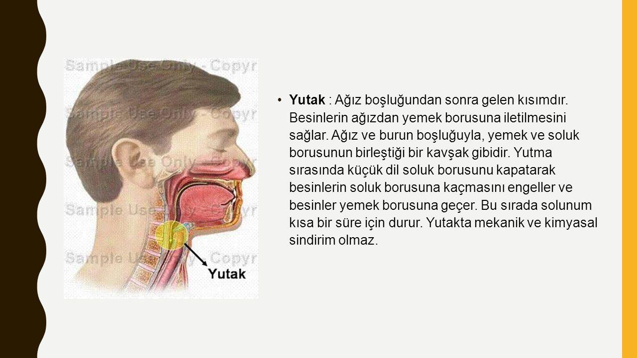 Yutak : Ağız boşluğundan sonra gelen kısımdır. Besinlerin ağızdan yemek borusuna iletilmesini sağlar. Ağız ve burun boşluğuyla, yemek ve soluk borusun
