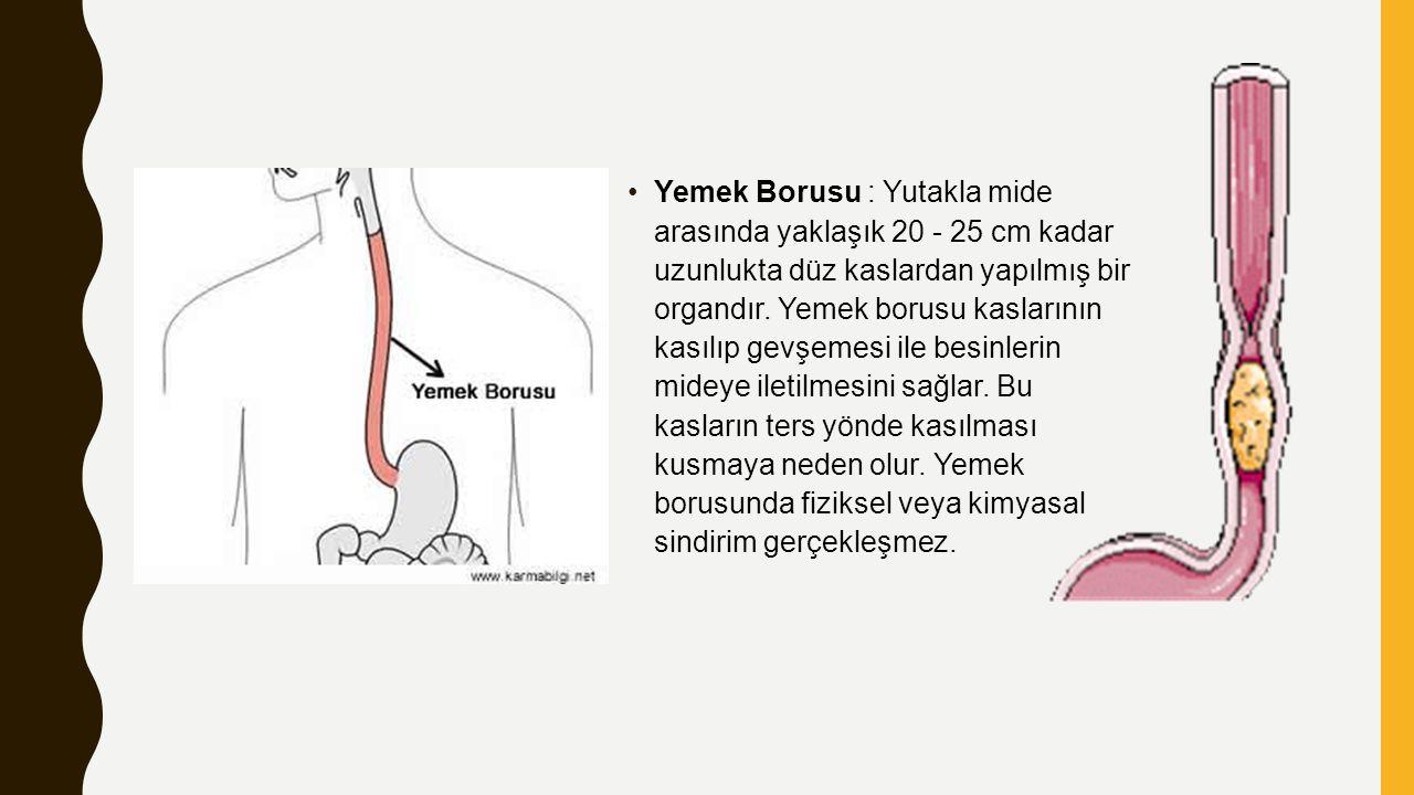 Yemek Borusu : Yutakla mide arasında yaklaşık 20 - 25 cm kadar uzunlukta düz kaslardan yapılmış bir organdır. Yemek borusu kaslarının kasılıp gevşemes