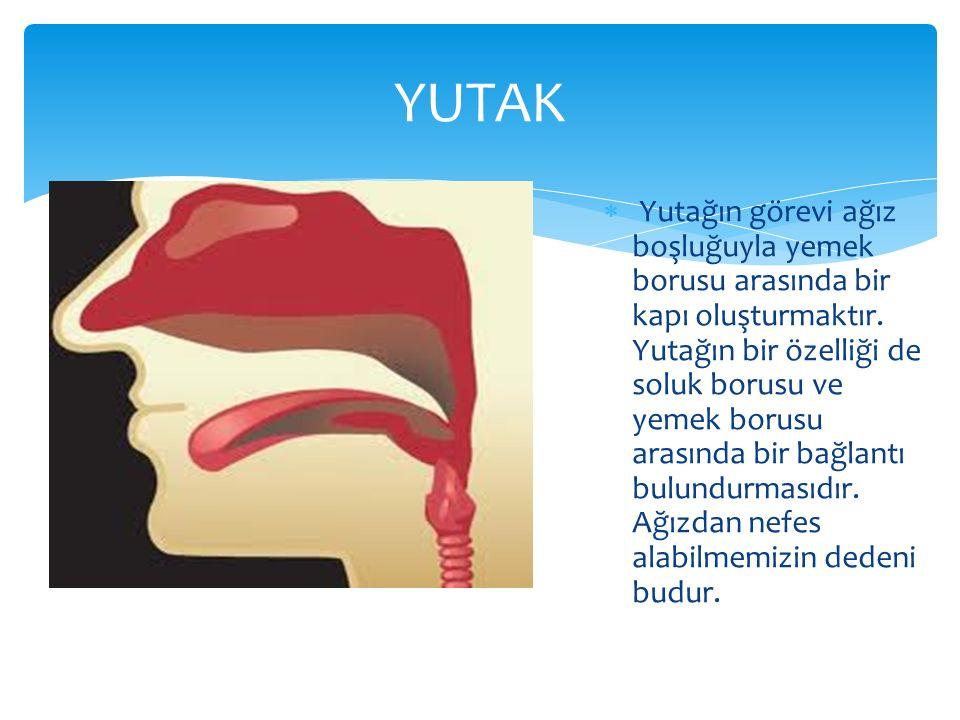  Yutağın görevi ağız boşluğuyla yemek borusu arasında bir kapı oluşturmaktır. Yutağın bir özelliği de soluk borusu ve yemek borusu arasında bir bağla