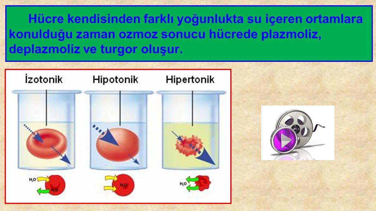 Hücre kendisinden farklı yoğunlukta su içeren ortamlara konulduğu zaman ozmoz sonucu hücrede plazmoliz, deplazmoliz ve turgor oluşur.
