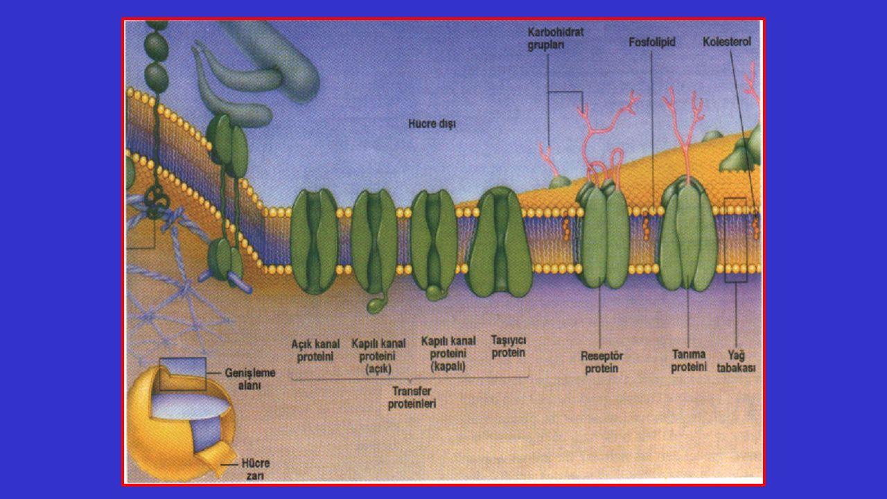 Hücre Zarından Madde Geçişleri Küçük moleküllerin geçişi Büyük moleküllerin geçişi Aktif taşıma Pasif taşıma Ekzositoz Endositoz Osmoz Kolaylaştırılmış difüzyon Basit difüzyon Fagositoz Pinositoz Protein, Yağ, Maltoz Glikojen, Nişasta Glikoz, Karbondioksit, Oksijen, Vitamin, Su, Amonyak, Aminoasit, Yağ asidi, Mineral, Gliserol