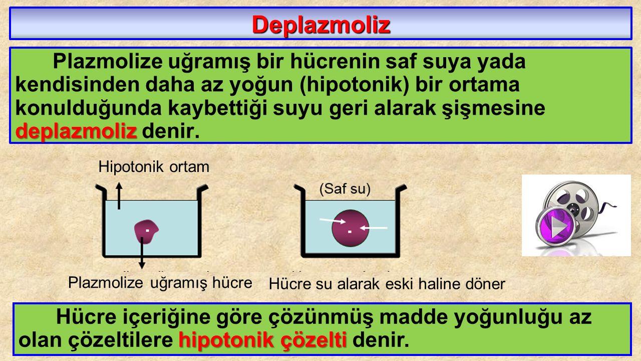 Deplazmoliz deplazmoliz Plazmolize uğramış bir hücrenin saf suya yada kendisinden daha az yoğun (hipotonik) bir ortama konulduğunda kaybettiği suyu ge