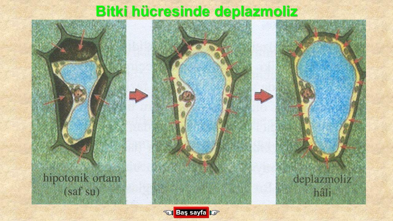 Bitki hücresinde deplazmoliz Baş sayfa