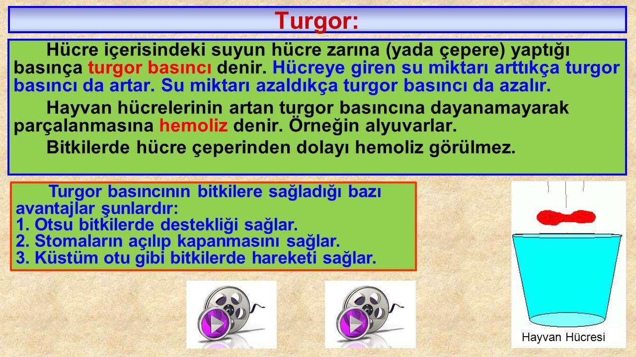 Turgor: Hücre içerisindeki suyun hücre zarına (yada çepere) yaptığı basınça turgor basıncı denir. Hücreye giren su miktarı arttıkça turgor basıncı da