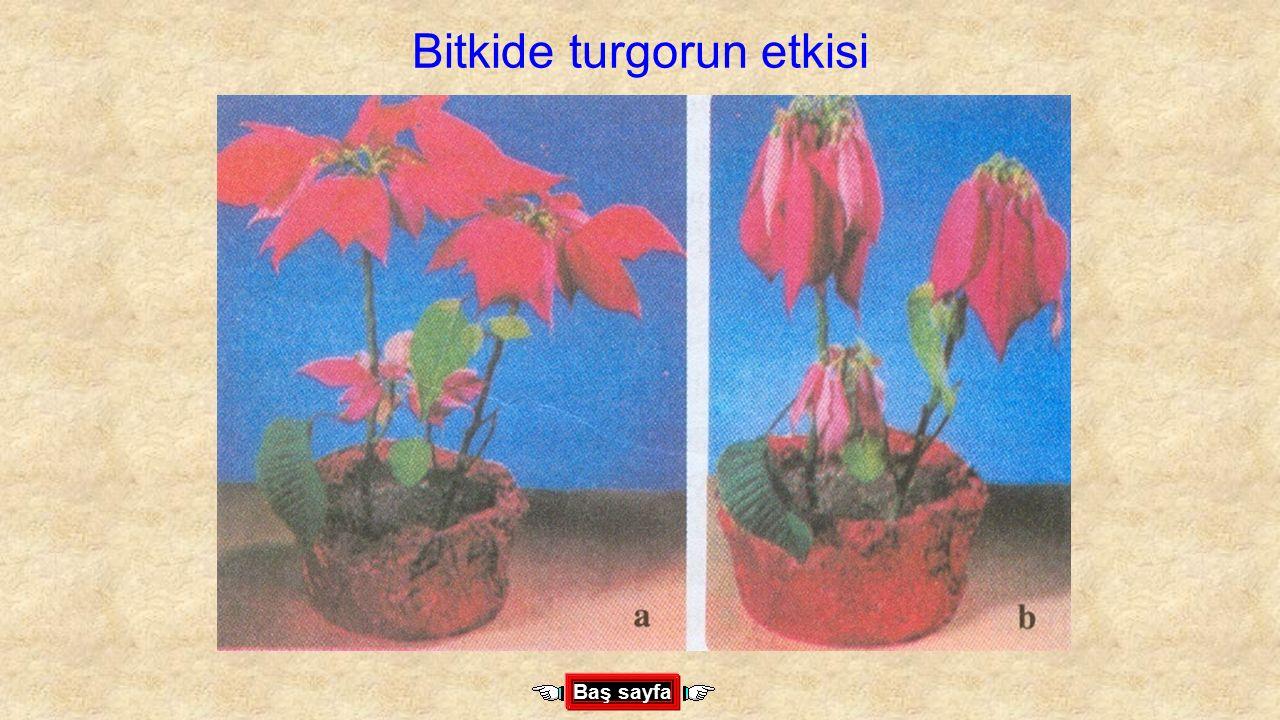 Bitkide turgorun etkisi Baş sayfa