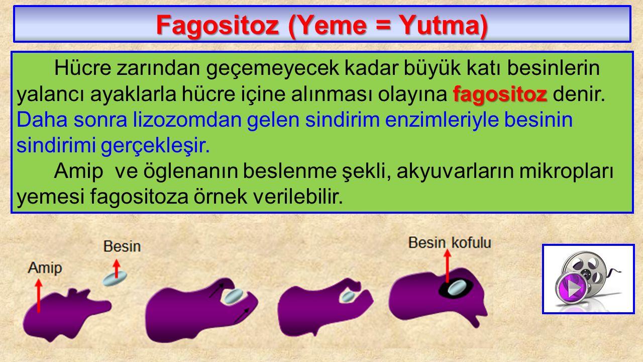 Fagositoz (Yeme = Yutma) fagositoz Hücre zarından geçemeyecek kadar büyük katı besinlerin yalancı ayaklarla hücre içine alınması olayına fagositoz den