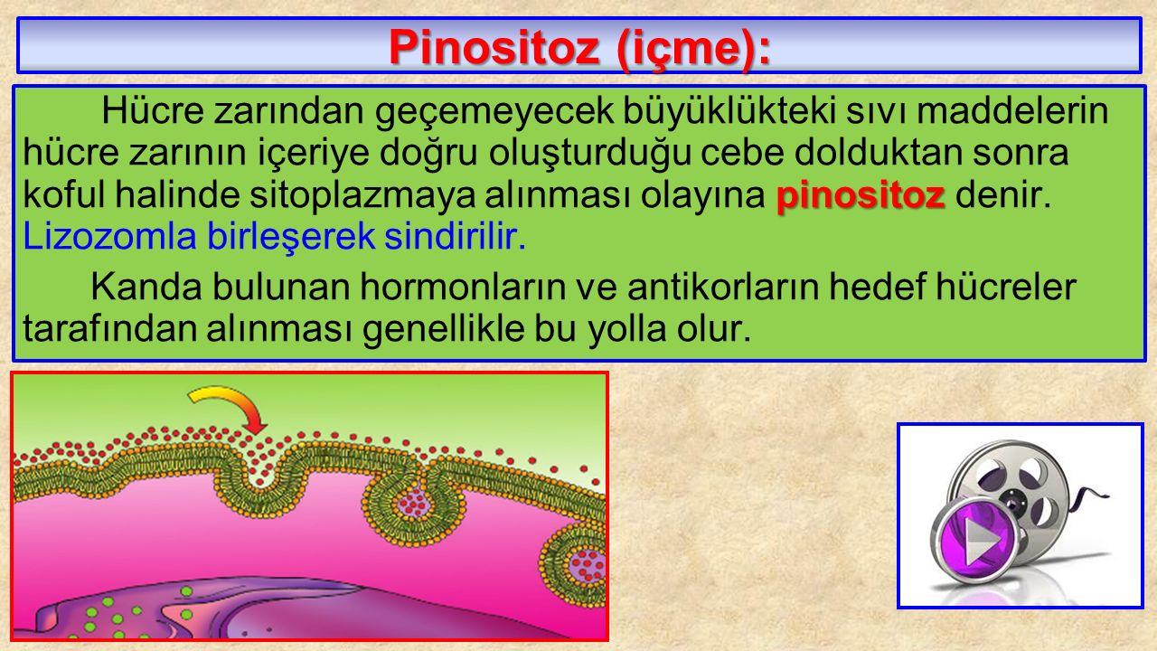 Pinositoz (içme): pinositoz Hücre zarından geçemeyecek büyüklükteki sıvı maddelerin hücre zarının içeriye doğru oluşturduğu cebe dolduktan sonra koful