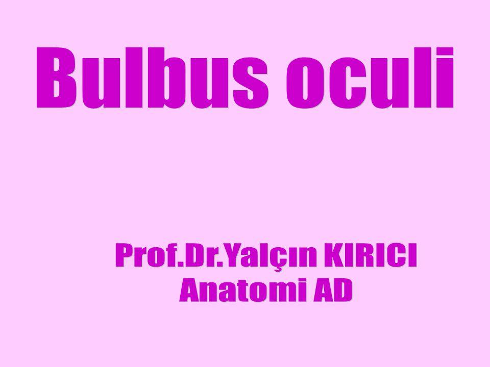 Gözün venleri V.ciliaresler bulbus oculi'nin ekvatorunda birleşerek v.vorticosa'ları oluşturur.