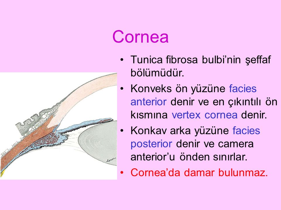 Cornea Tunica fibrosa bulbi'nin şeffaf bölümüdür. Konveks ön yüzüne facies anterior denir ve en çıkıntılı ön kısmına vertex cornea denir. Konkav arka