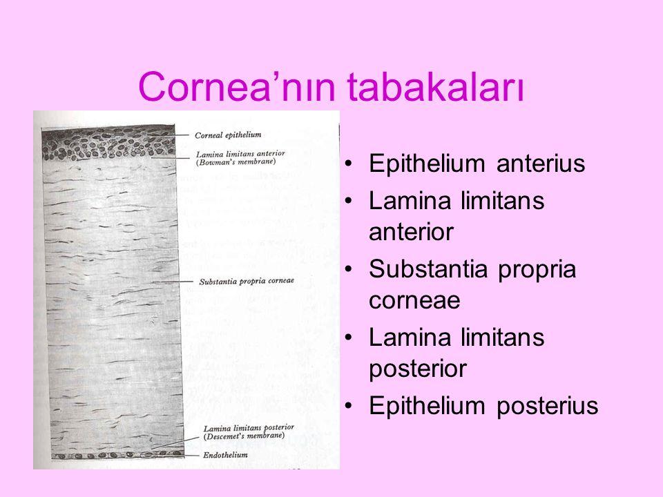 Cornea'nın tabakaları Epithelium anterius Lamina limitans anterior Substantia propria corneae Lamina limitans posterior Epithelium posterius