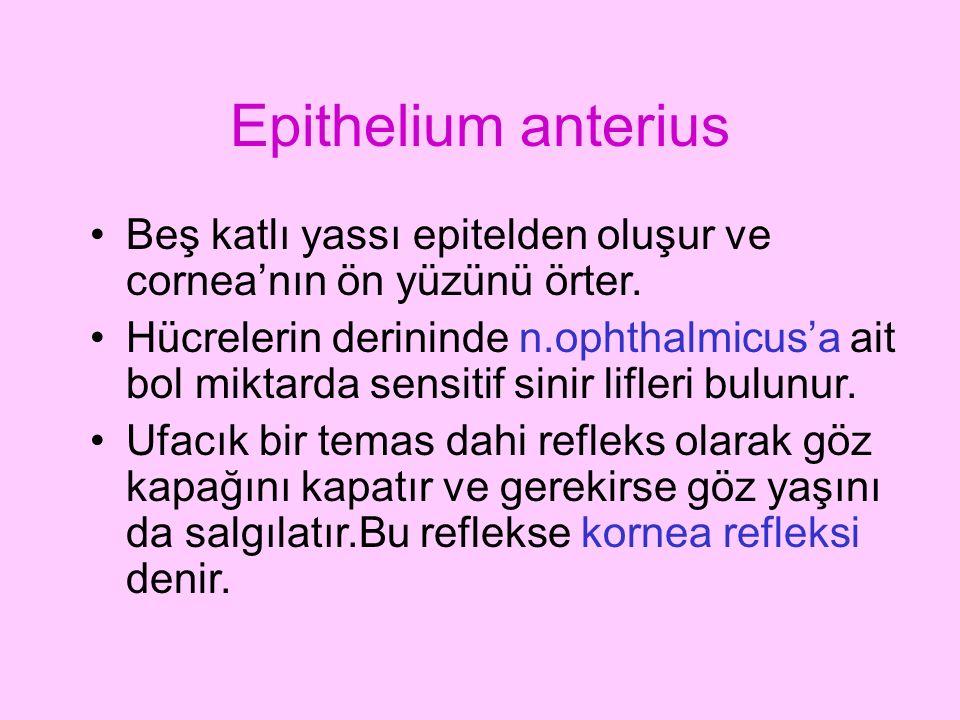Epithelium anterius Beş katlı yassı epitelden oluşur ve cornea'nın ön yüzünü örter. Hücrelerin derininde n.ophthalmicus'a ait bol miktarda sensitif si