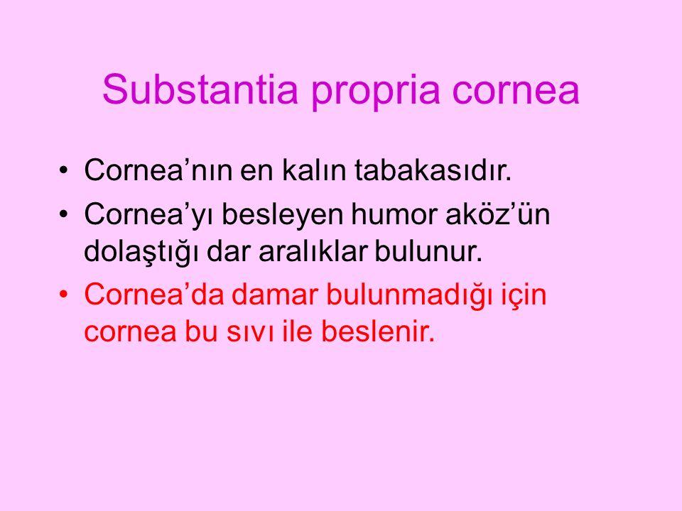 Substantia propria cornea Cornea'nın en kalın tabakasıdır. Cornea'yı besleyen humor aköz'ün dolaştığı dar aralıklar bulunur. Cornea'da damar bulunmadı