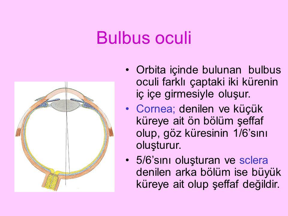 Bulbus oculi Orbita içinde bulunan bulbus oculi farklı çaptaki iki kürenin iç içe girmesiyle oluşur. Cornea; denilen ve küçük küreye ait ön bölüm şeff