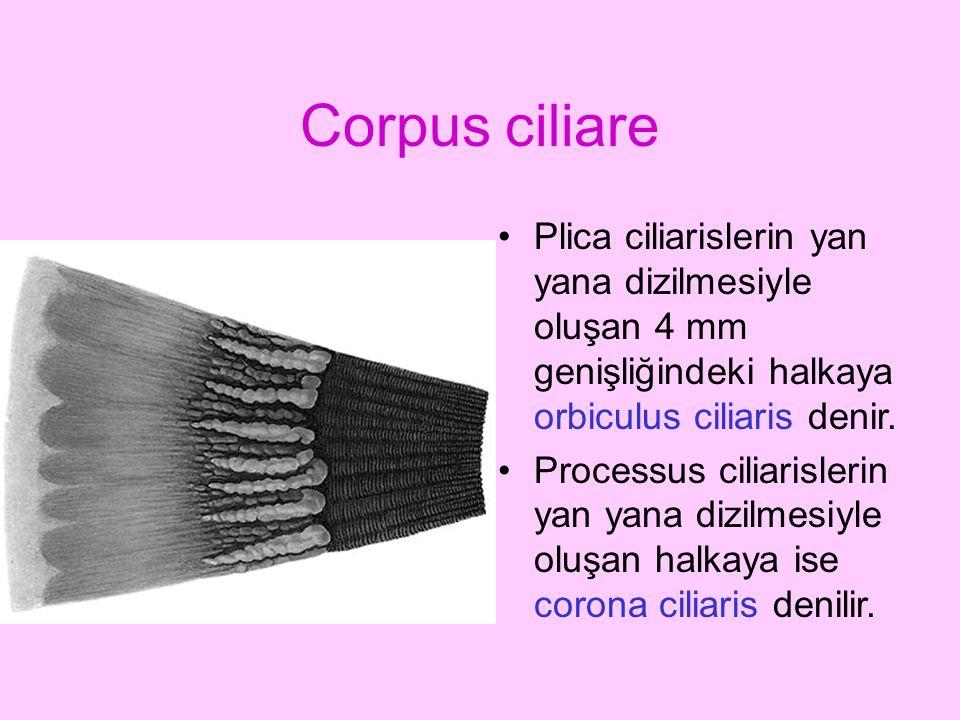 Corpus ciliare Plica ciliarislerin yan yana dizilmesiyle oluşan 4 mm genişliğindeki halkaya orbiculus ciliaris denir. Processus ciliarislerin yan yana