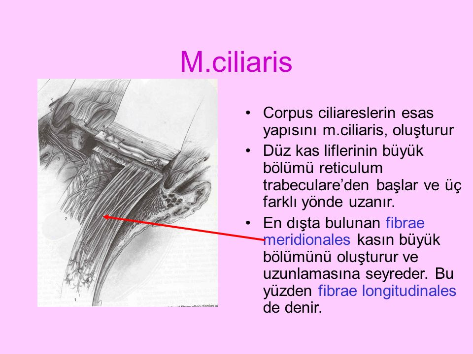 M.ciliaris Corpus ciliareslerin esas yapısını m.ciliaris, oluşturur Düz kas liflerinin büyük bölümü reticulum trabeculare'den başlar ve üç farklı yönd