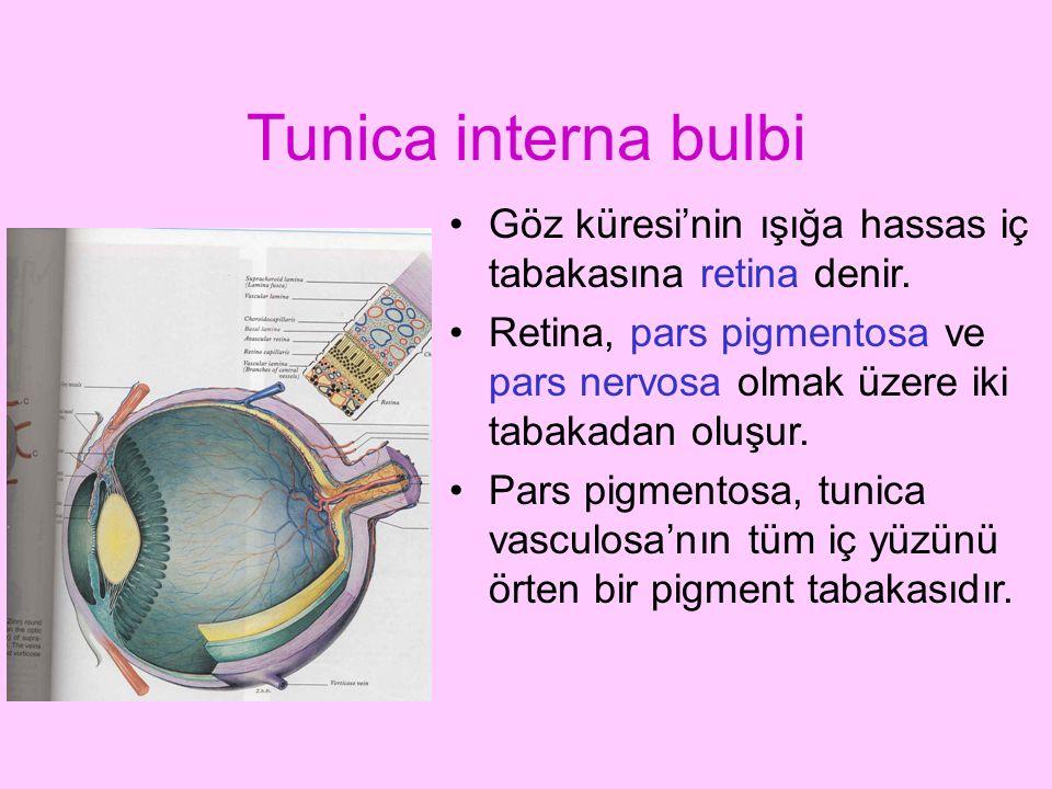 Tunica interna bulbi Göz küresi'nin ışığa hassas iç tabakasına retina denir. Retina, pars pigmentosa ve pars nervosa olmak üzere iki tabakadan oluşur.