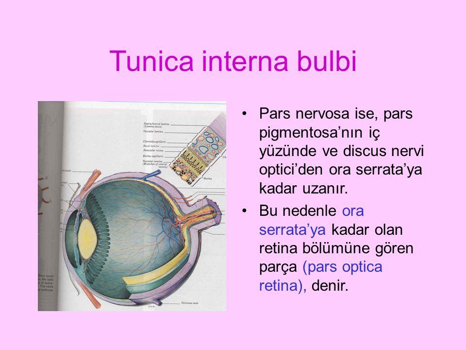 Tunica interna bulbi Pars nervosa ise, pars pigmentosa'nın iç yüzünde ve discus nervi optici'den ora serrata'ya kadar uzanır. Bu nedenle ora serrata'y