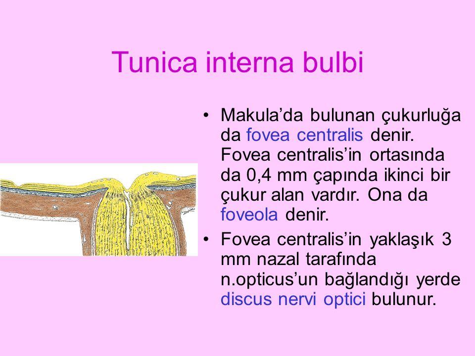 Tunica interna bulbi Makula'da bulunan çukurluğa da fovea centralis denir. Fovea centralis'in ortasında da 0,4 mm çapında ikinci bir çukur alan vardır