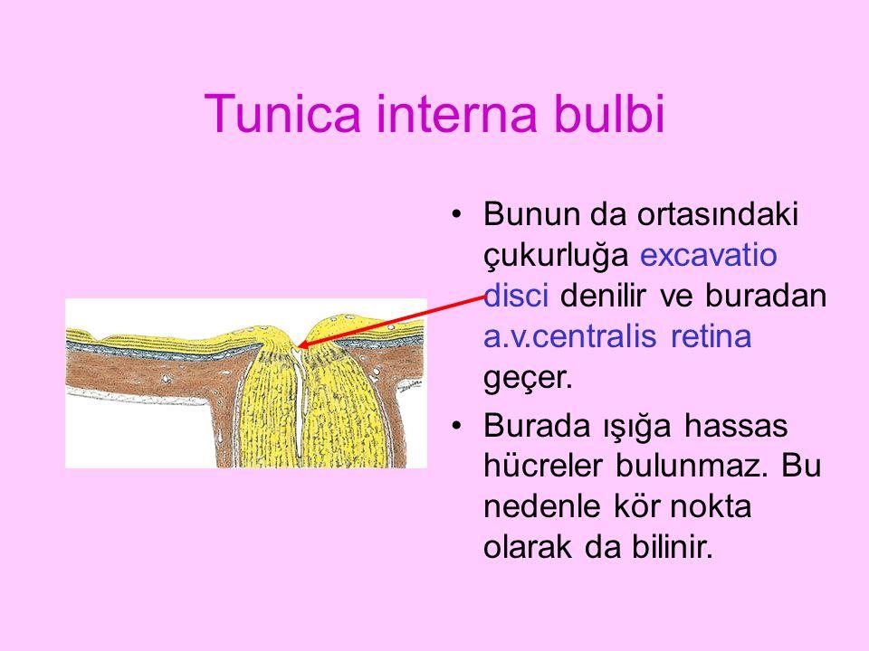 Tunica interna bulbi Bunun da ortasındaki çukurluğa excavatio disci denilir ve buradan a.v.centralis retina geçer. Burada ışığa hassas hücreler bulunm