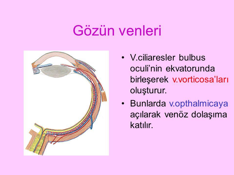 Gözün venleri V.ciliaresler bulbus oculi'nin ekvatorunda birleşerek v.vorticosa'ları oluşturur. Bunlarda v.opthalmicaya açılarak venöz dolaşıma katılı
