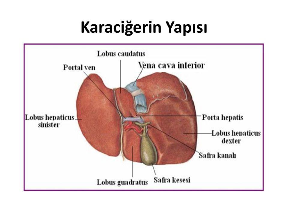 Karaciğerin Yapısı