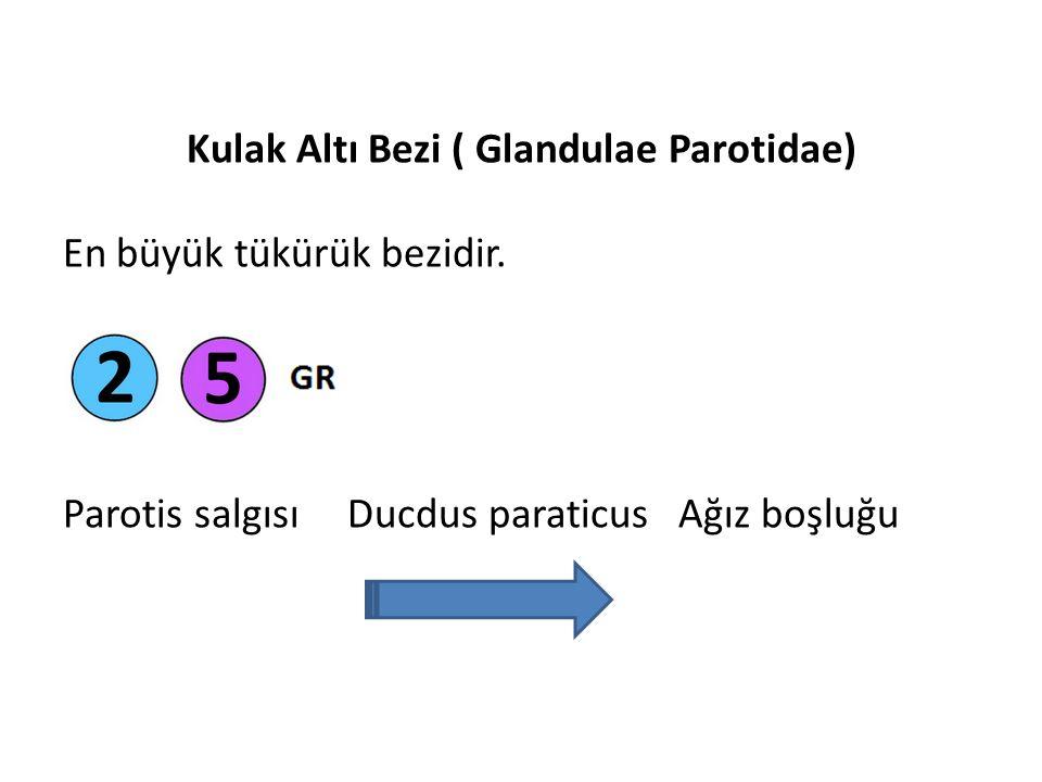 Kulak Altı Bezi ( Glandulae Parotidae) En büyük tükürük bezidir.