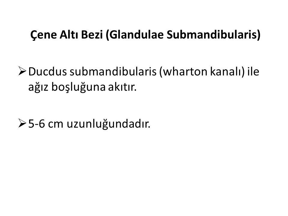 Çene Altı Bezi (Glandulae Submandibularis)  Ducdus submandibularis (wharton kanalı) ile ağız boşluğuna akıtır.