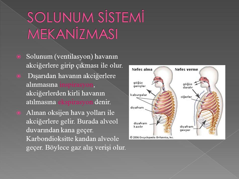  Solunum (ventilasyon) havanın akciğerlere girip çıkması ile olur.