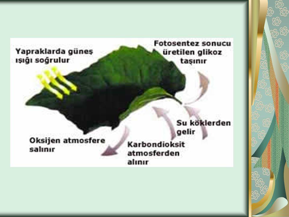 5) KALITSAL FAKTÖRLER Daha çok bitkinin kalıtsal yapısından kaynaklanan kloroplast sayısı, klorofil miktarı, stoma sayısı ve yeri, kütikula tabakasının kalınlığı, yaprak yüzeyinin genişliği gibi faktörler de fotosentez hızını etkiler.