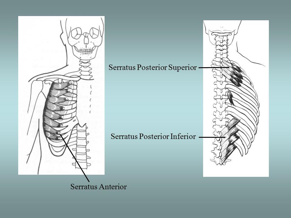 Serratus Anterior Serratus Posterior Superior Serratus Posterior Inferior