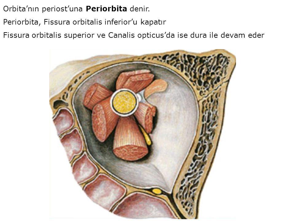 Orbita'nın periost'una Periorbita denir. Periorbita, Fissura orbitalis inferior'u kapatır Fissura orbitalis superior ve Canalis opticus'da ise dura il